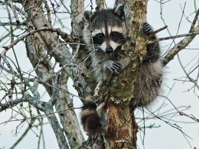 Raccoon 01-20200325