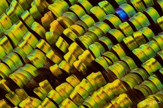 Escamas ala de mariposa (Urania ripheus)