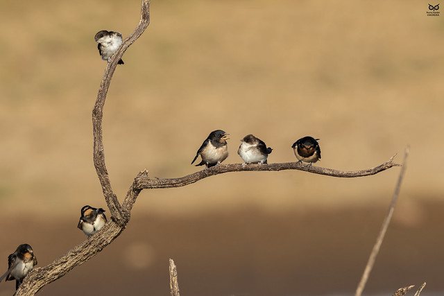 Andorinha-das-chamines, European Swallow (Hirundo rustica) / Andorinha-dos-beirais, Common house martin (Delichon urbicum)