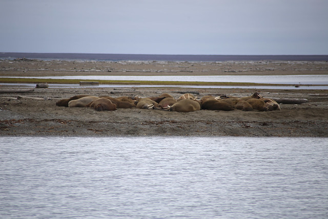 Walrus colony, Svalbard