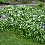 Wild garlic in Avenham Park, Preston