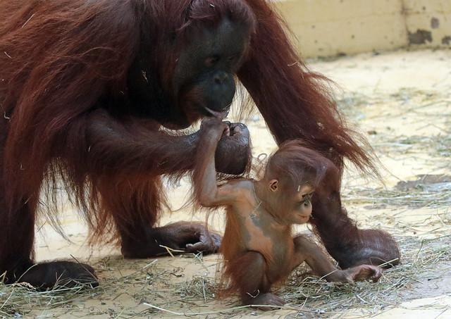 Borneo orangutan Tjintha and Minggu Ouwehand BB2A1056