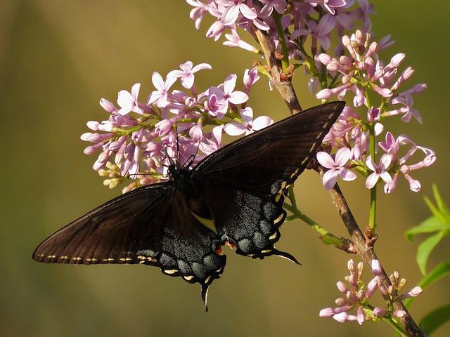 DSCN4806 Dark Swallowtail
