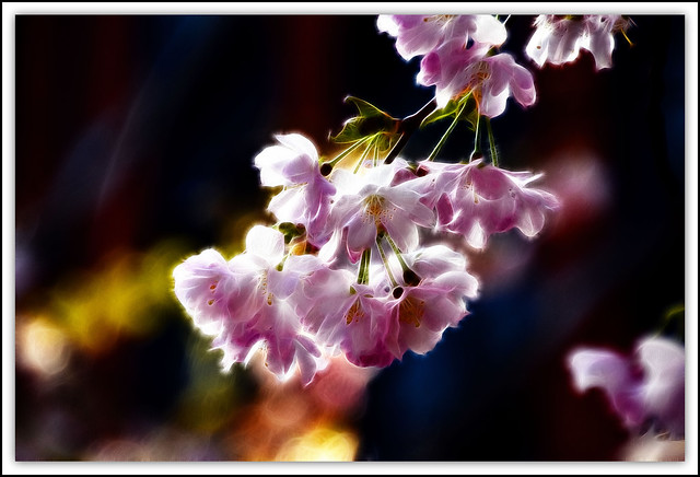 Flower Of The Day - Cherry Blossoms ( Fractalius)
