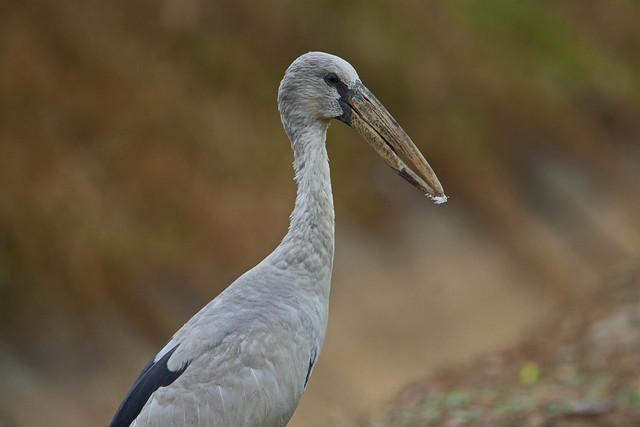 Asian openbill stork (Anastomus oscitans) - Sungai Batu mangroves, Merbok, Kedah, Malaysia - Feb 2020