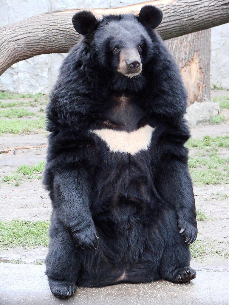 在IUCN紅皮書中歸為「易危級」的亞洲黑熊,是最常因為熊膽需求而被圈養的物種之一。圖片來源:Guérin Nicolas(CC BY SA 3.0)
