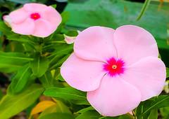 Pink / fuschia flowers