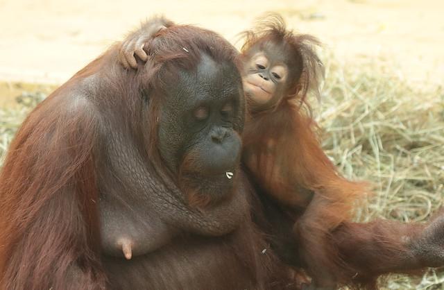 Borneo orangutan Tjintha and Minggu Ouwehand BB2A1157