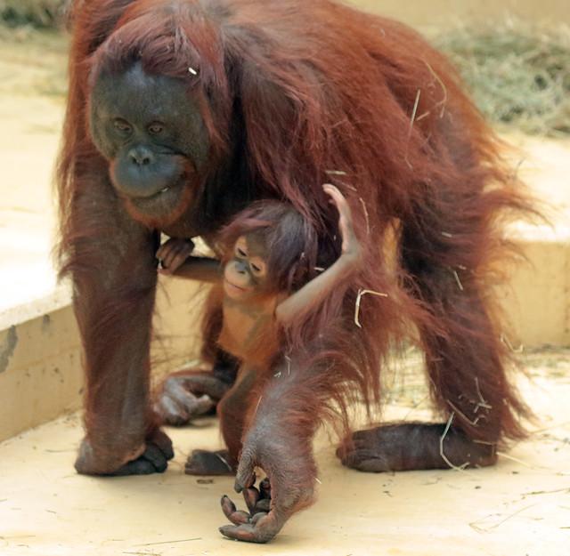 Borneo orangutan Tjintha and Minggu Ouwehand BB2A1002