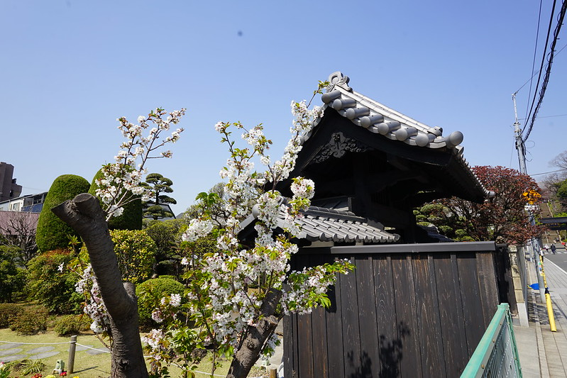 101東京いい道しぶい道池上道本門寺前の桜