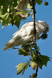 Corella with Plane Tree seed pod | by Joe Lewit