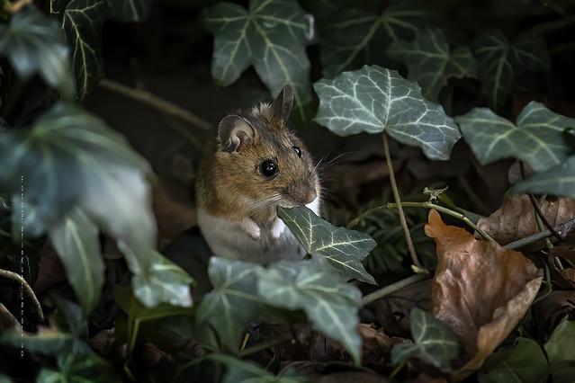 Halsbåndmus, Yellow-necked mouse