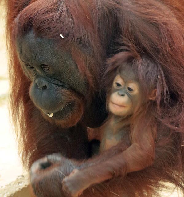Borneo orangutan Tjintha and Minggu Ouwehand BB2A1028