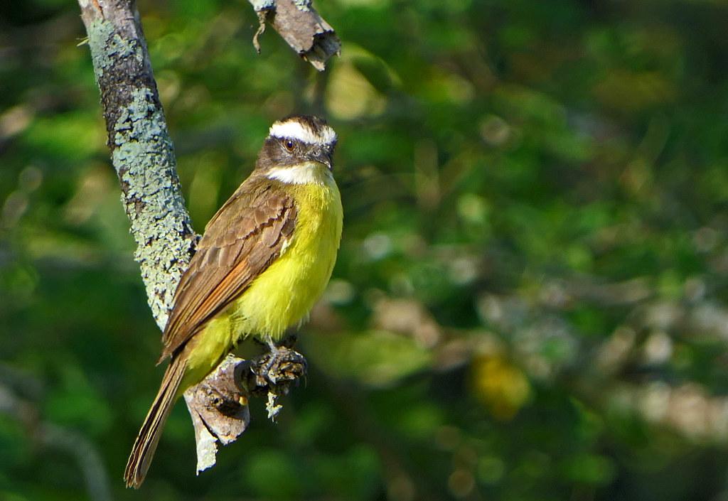 Suelda Crestinegra, Rusty-margined Flycatcher (Myiozetetes cayanensis)