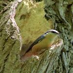 Treecreeper at Haslam Park, Preston