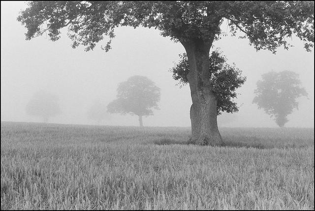 Field of Oaks - Ilford HP5