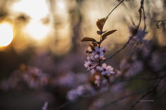 {EXPLORE} blossoms in the sunset light