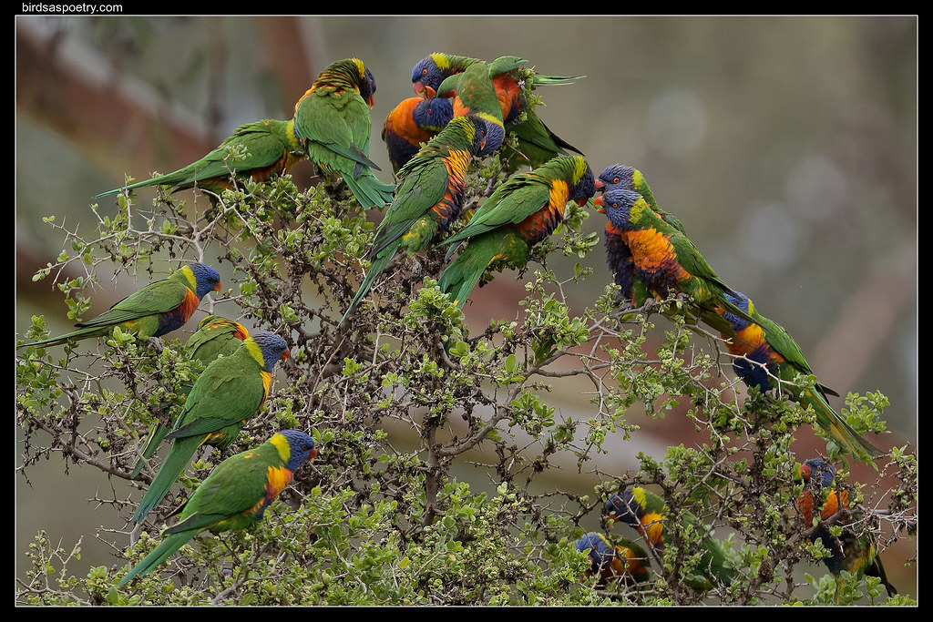 Rainbow Lorikeets: Committe Meeting