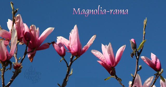 Magnolia-rama