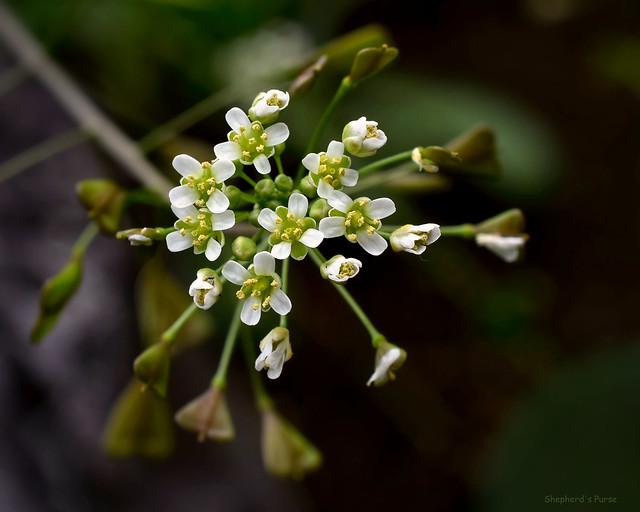 Shepherd's-purse - Capsella bursa-pastoris  -  Brassicaceae: Mustard family