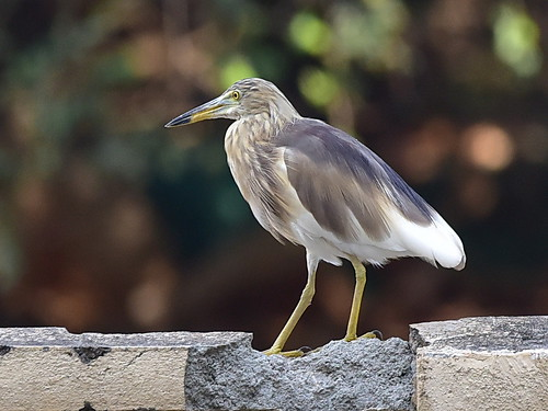 Indian Pond Heron (Paddybird) | by pkbhat_20032003