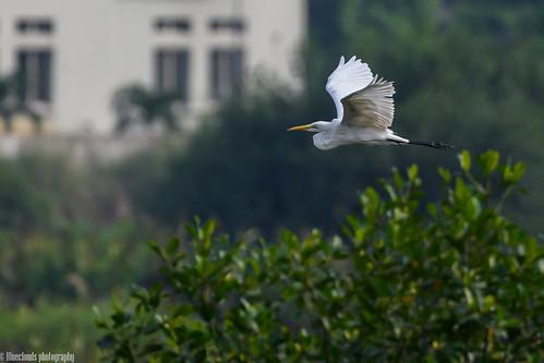egrets cattle birds unilag lagos nikon d850 500 pf f56