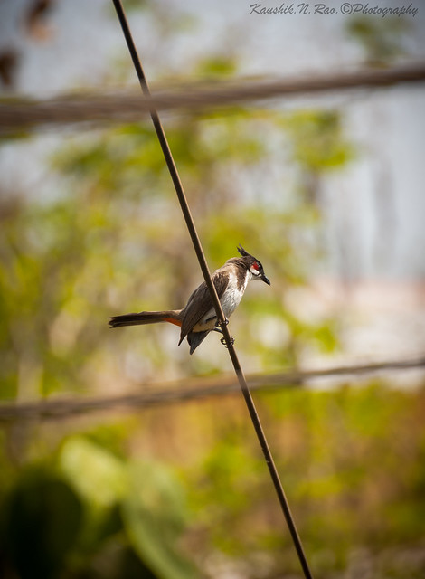 Always a joy to watch Red-whiskered bulbul !!