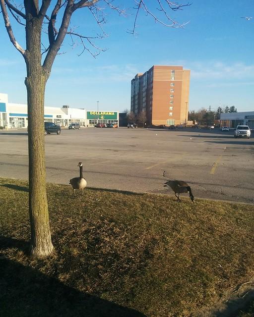 Two Canada geese, returned #toronto #rogersroad #birds #spring #canadagoose #latergram