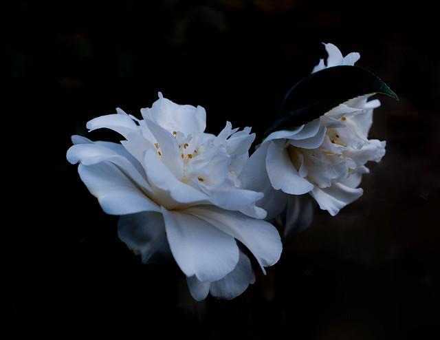 White Camillia Still Life