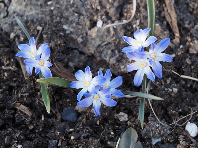 Chionodoxa luciliae 'Ingria'