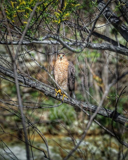 Photos from the quarantine... Our local Cooper's Hawk perched above the creek... #coopershawk #bird #birdie #hawk #raptor #springcreek #birdphotography #olympusphotography #olympus #em10markii #75300mm