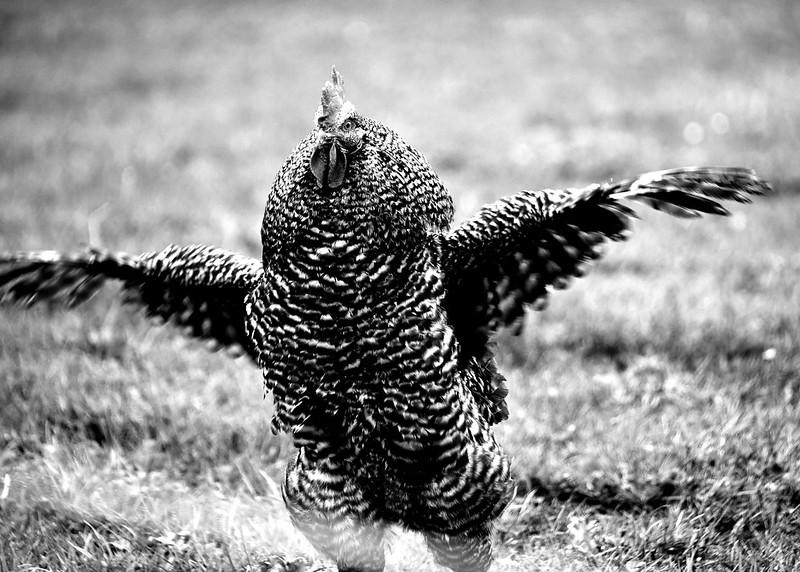 Chickens 14.03 (3)