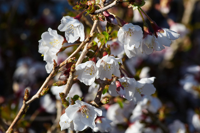 Japanese Blossom Cherry Prunus
