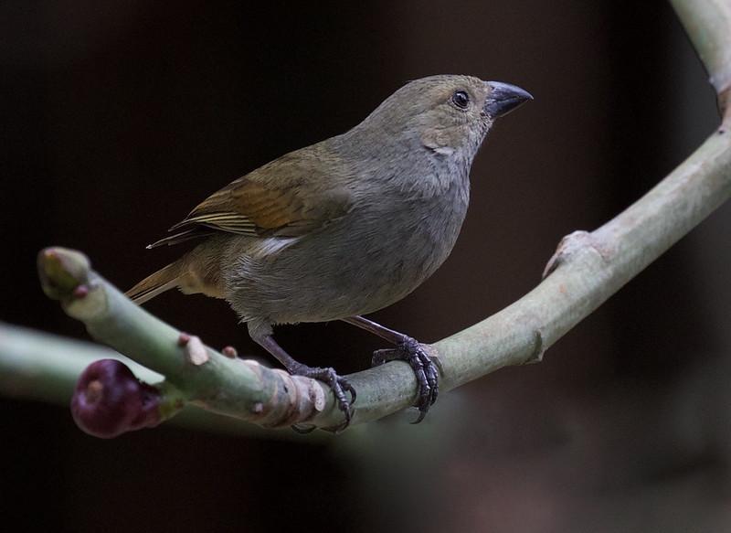 Barbados Bullfinch_Loxigilla barbadensis_Ascanio_Barbados_DZ3A0153