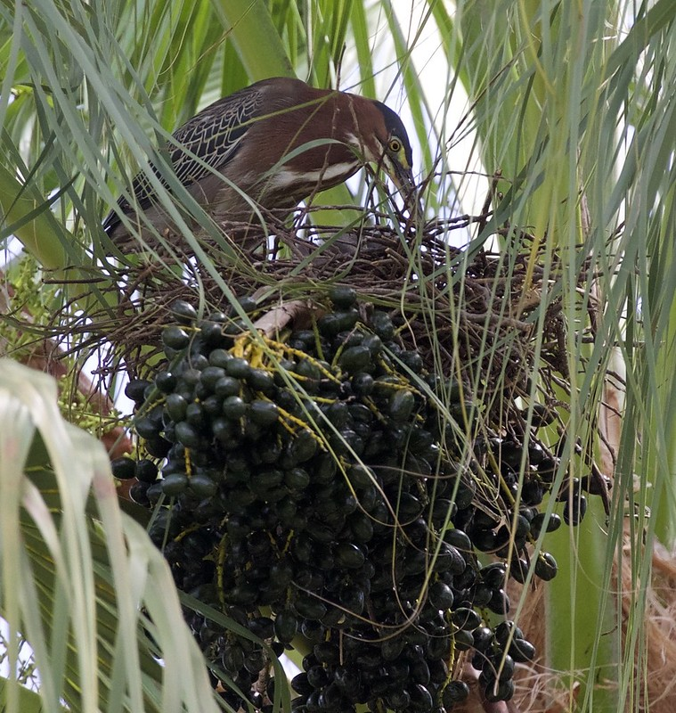 Green Heron_Butorides virescens_Lesser Antilles_Ascanio_DZ3A0293