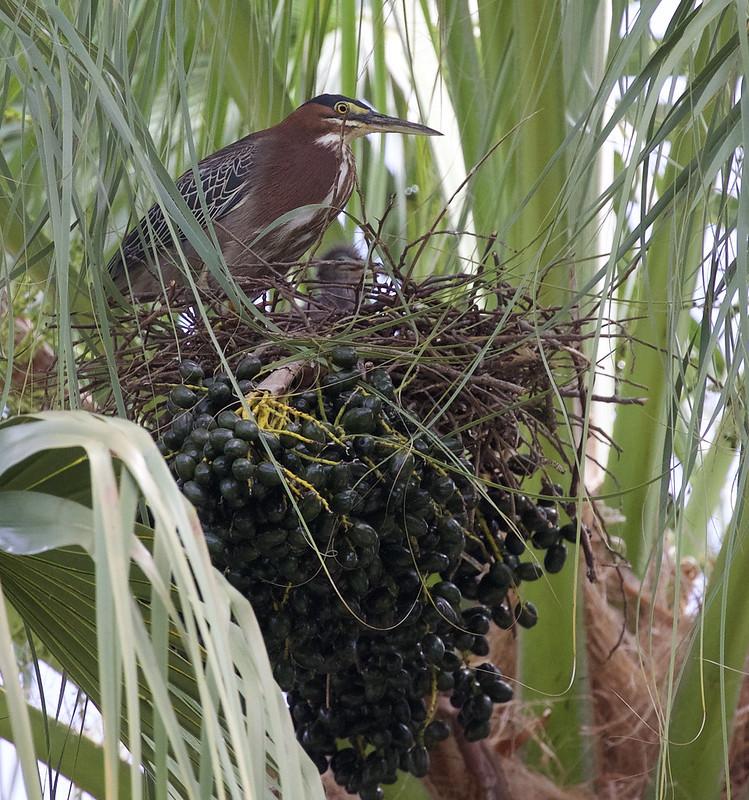 Green Heron_Butorides virescens_Lesser Antilles_Ascanio_DZ3A0288