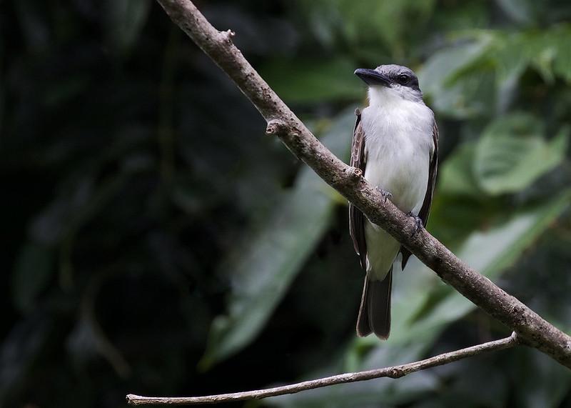 Gray Kingbird_Tyrannus dominicensis_Ascanio_Lesser Antilles_Gray Kingbird_Tyrannus dominicensis_Ascanio_Lesser Antilles_DZ3A0573