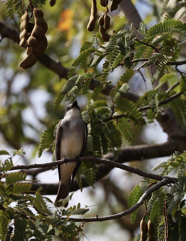 Gray Kingbird_Tyrannus dominicensis_Ascanio_Lesser Antilles_DZ3A0914