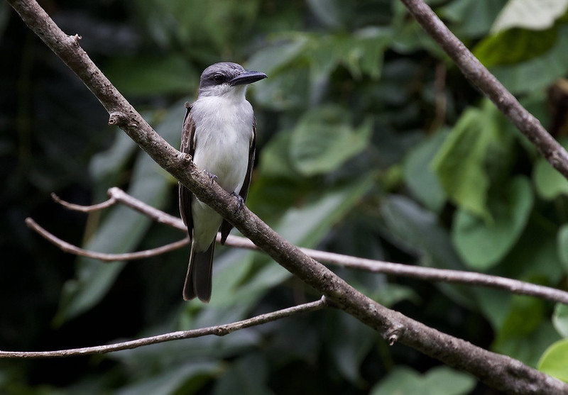 Gray kingbird_Tyrannus dominicensis_Ascanio_Lesser Antilles_DZ3A0563