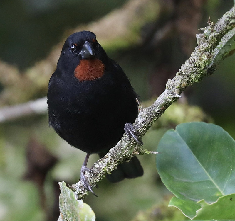Lesser Antillean Bullfinch_Loxigilla noctis_Ascanio_Lesser Antilles_DZ3A1170