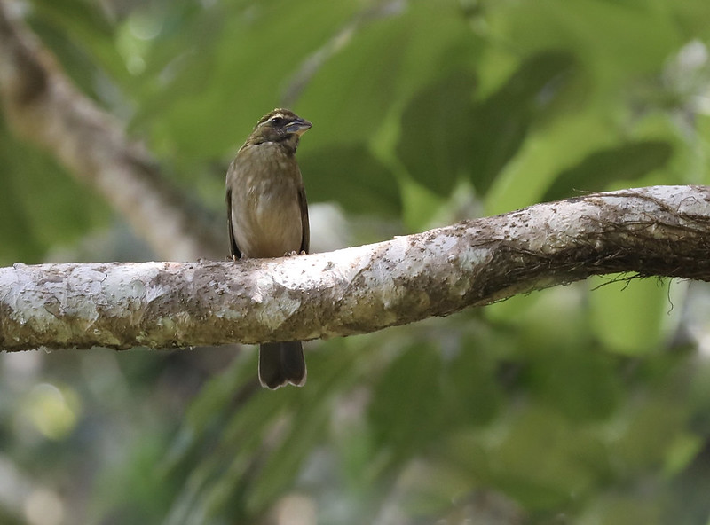 Lesser Antillean Saltator_Saltator albicollis_Ascanio_Lesser Antilles_DZ3A0894