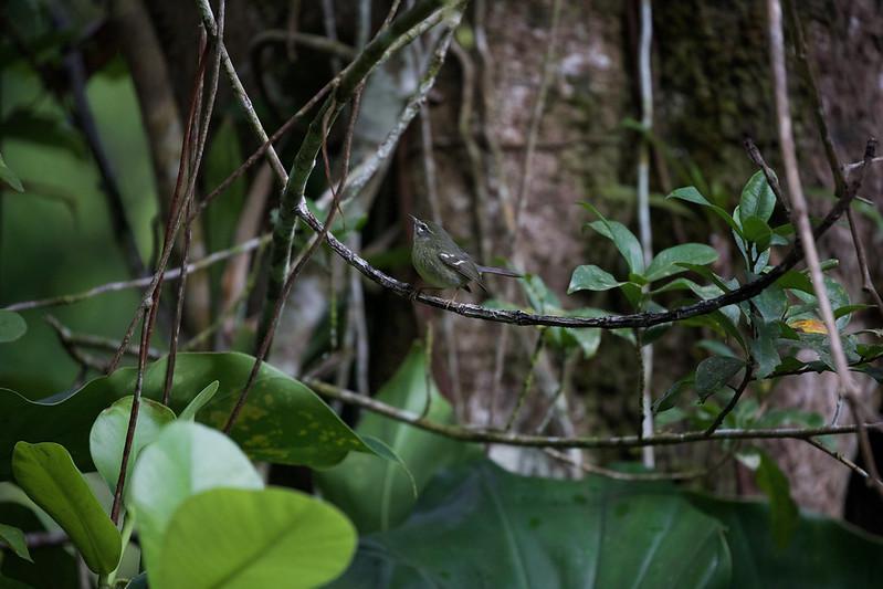 Plumbeous Warbler_Setophaga plumbea_Ascanio_Martinique_DZ3A0681