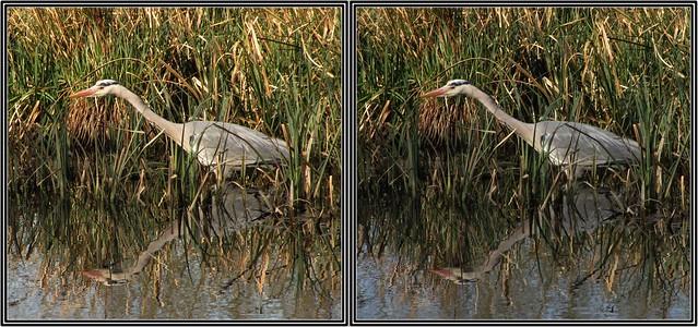Grey Heron- Runnymede - stereo cross-view