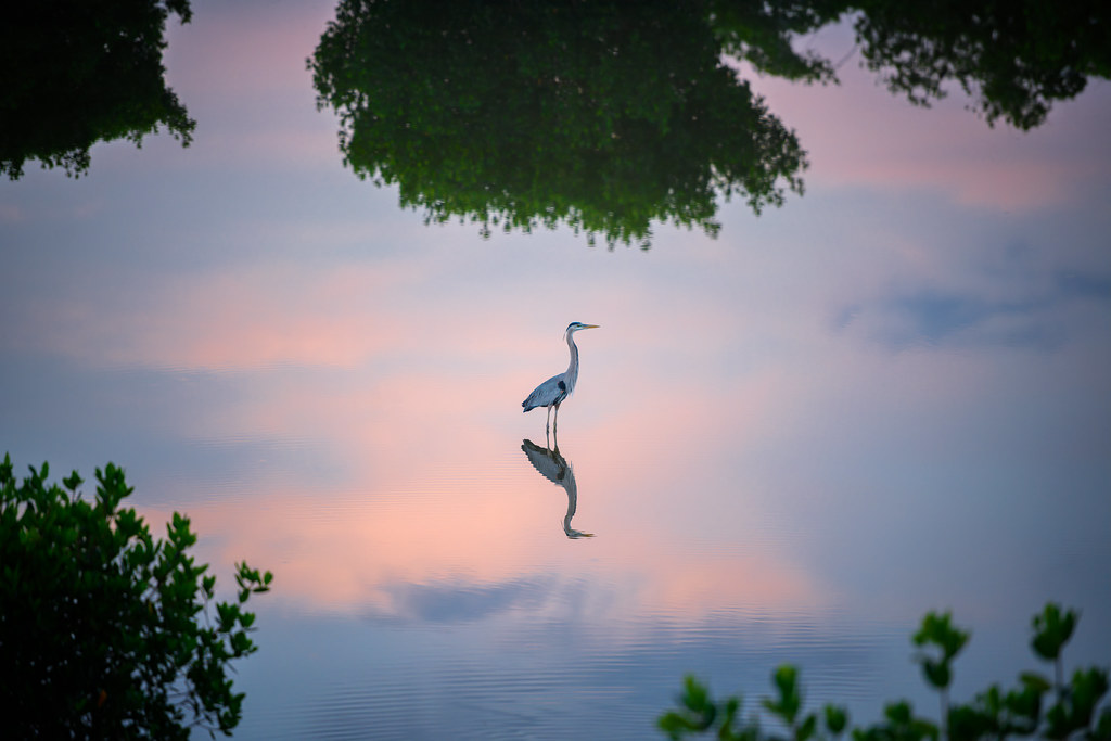 Feeling isolated.  Great blue heron and reflection in the pre-dawn hours at Ten Tho