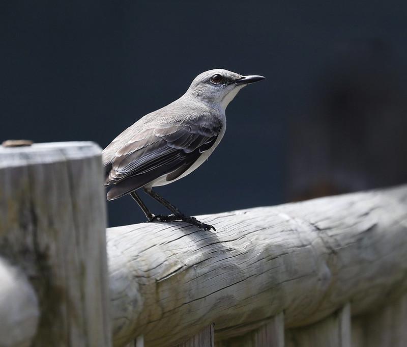 Tropical Mockingbird_Mimus gilvus_Ascanio_Lesser Antilles_DZ3A0926