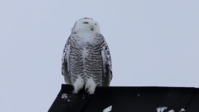 Harfang des neiges femelle !