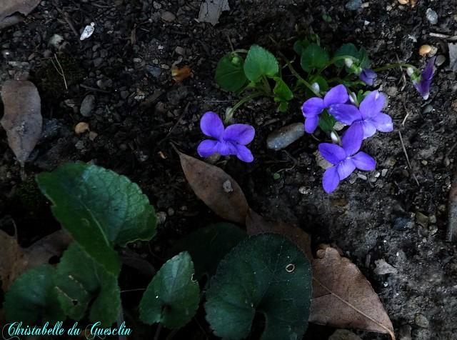 ma fleur fétiche et adorée (LA VIOLETTE )