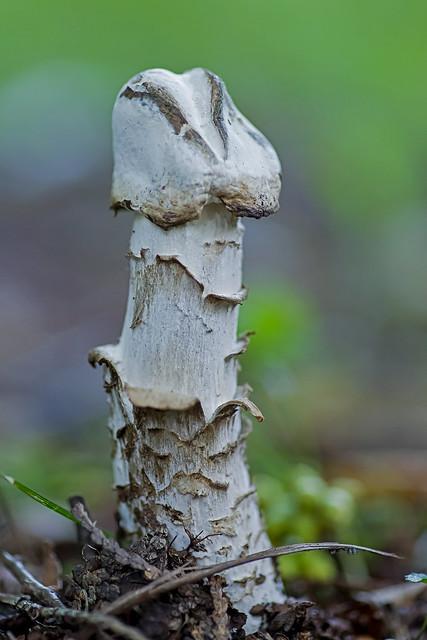Amanita Virosa