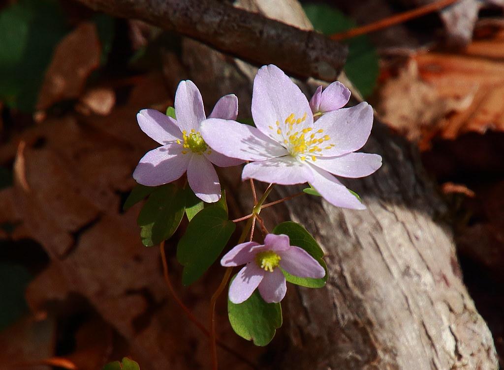 Rue anemone (wildflower) - Lost Valley, Northwest Arkansas
