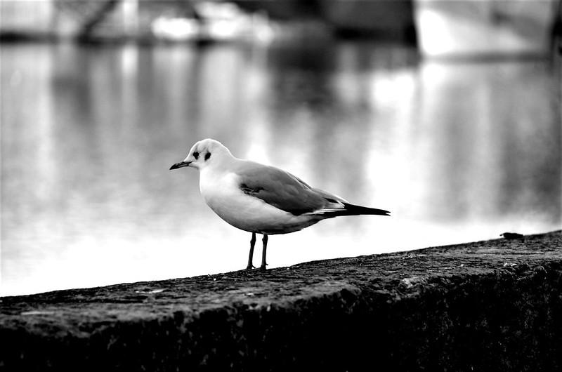Gull 19.01 (6)